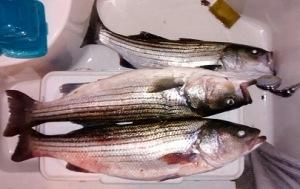PFsFish2_11-15-14
